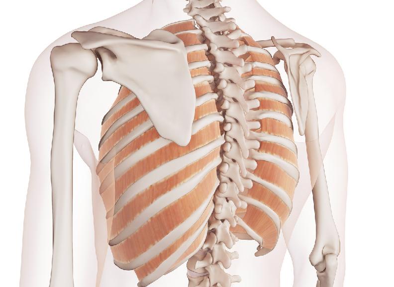 esqueleto-musculos-costillas-posterior